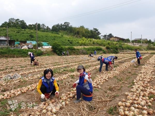 사계절 봉사단 양파수확